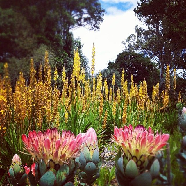 Proteas on the Spier Wine Estate. Pinned from South African Tourism