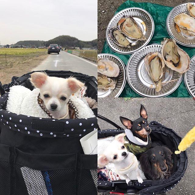今日も天気微妙〜☁でも奥さんが行きたがってた室津牡蠣祭りへ〜🚗 どこ見ても牡蠣牡蠣牡蠣でした😊着いてすぐ焼き牡蠣1皿100円の大行列に並んで5皿GET!  人生で初めてまともに牡蠣と言うものを食べた(笑) ずっと苦手やったけど、やっぱ新鮮やと食えると言う😝  チョコレンハナはサツマイモのスティックに👀まんまるさせて興奮してた😋  ハナは初めての長い時間のお出かけやったから帰り道は爆睡してました😴  #ロングコートチワワ #チワワ #チワワ部 #室津牡蠣祭り #ミニチュアダックス #ミニピン #ワンコ #ワンコなしでは生きて行けません会 #愛犬 #多頭飼い #愛犬は家族