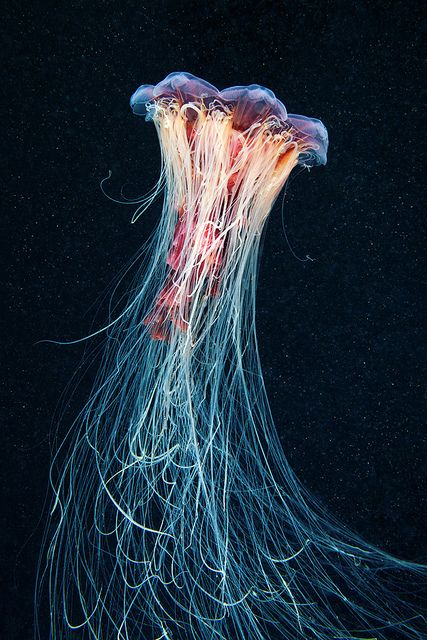 Cyanea capillata by Alexander Semenov, via Flickr