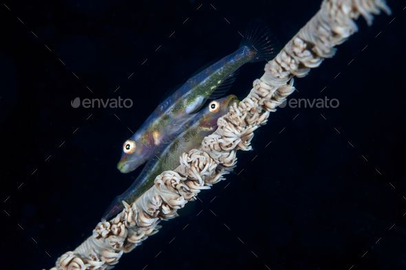 The Wire Coral Goby. - Stock Photo - Images Download here : https://photodune.net/item/the-wire-coral-goby/18483813?s_rank=147&ref=Al-fatih