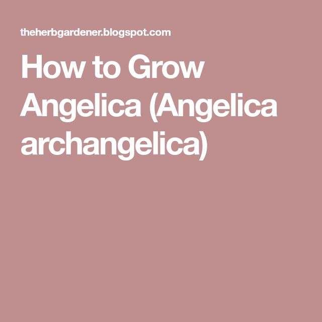 How to Grow Angelica (Angelica archangelica)