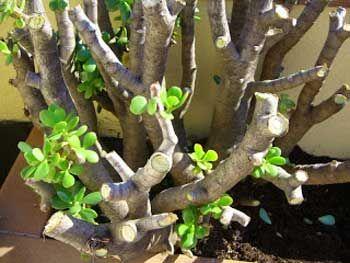 Poda de la planta suculenta Árbol de Jade, Crassula Portulacea