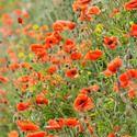 Papaver Rhoeas , Common Poppy, Corn Poppy, Corn Rose, Field Poppy, Flanders Poppy, Red Poppy, Red Weed, Coquelicot, Papaver Commutatum, Papaver Strigosum, Red flowers