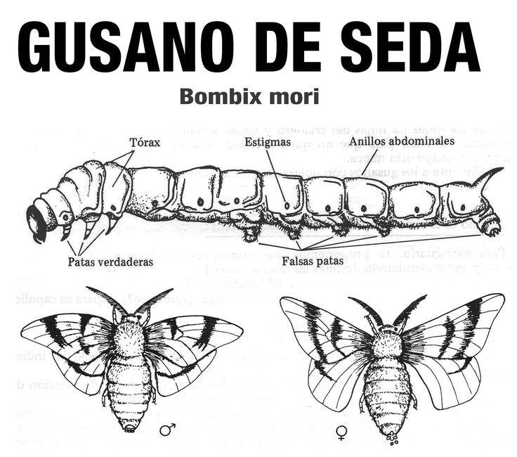 21 mejores imgenes de Gusanos de seda en Pinterest  Insectos