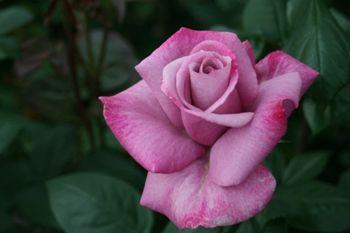 Hybrid Tea Rose 'Moody Blue'