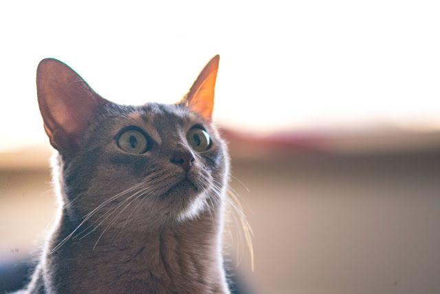 Non je ne suis pas la: « crazy cat lady » de l'Ouest de l'île, mais je suis quand même assez folle pour être propriétaire de tro...