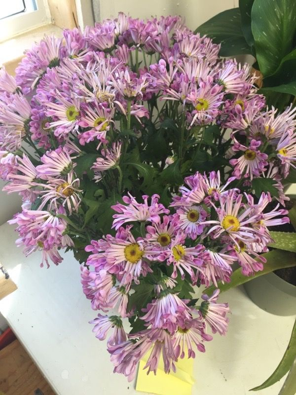 """Spoon Mum (chrysanthemum morifolium): This is spoon-petal mum, so named because of the shape of its petals. They are often sold for Easter or Mother's day plants, and should be considered a long-lasting """"cut flower"""" not a plant that will be hardy though the winter. But since there are many varieties of these spoon mums, and some of them can be hardy on Long Island, you could keep it alive indoors until late May and then plant it outside to see what happens. Be sure to remove any gift foil…"""