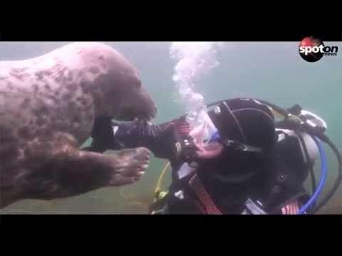 Seehund kuschelt mit Taucher