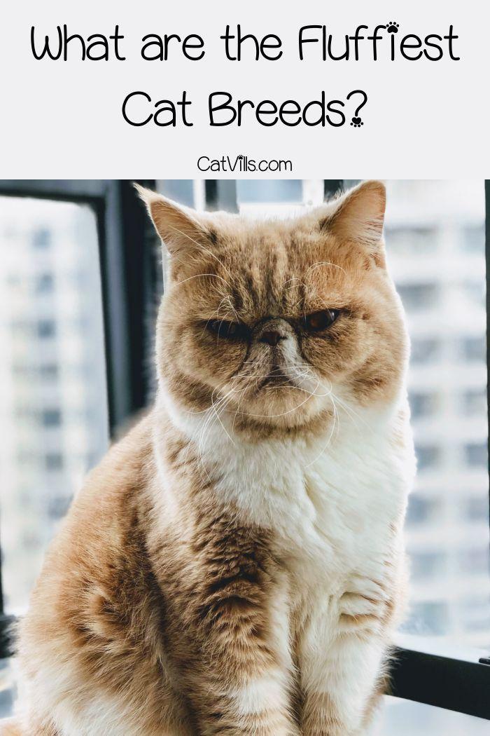 Top 10 Fluffiest Cat Breeds In 2020 Cat Breeds Fluffy Cat Fluffy Cat Breeds