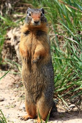 Columbian Ground Squirrel, Banff, Aberta