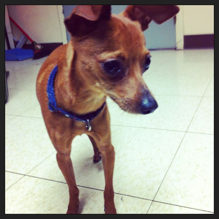 BJ, a Min Pin Mix, from For the Love of Paws Animal Rescue