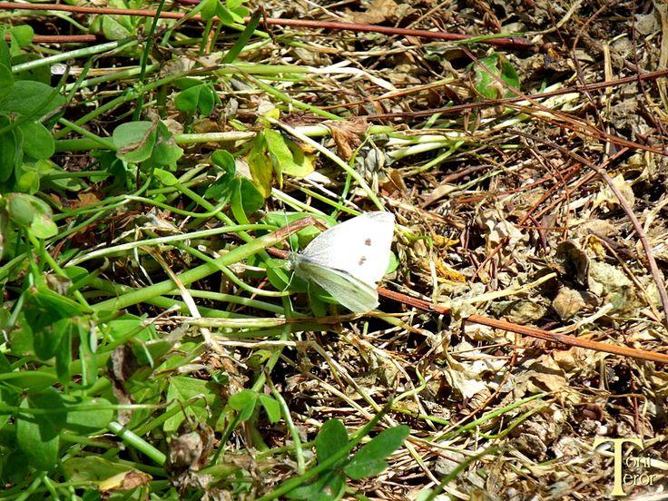 Mariposa blanca en el suelo by ToniTeror.deviantart.com on @DeviantArt
