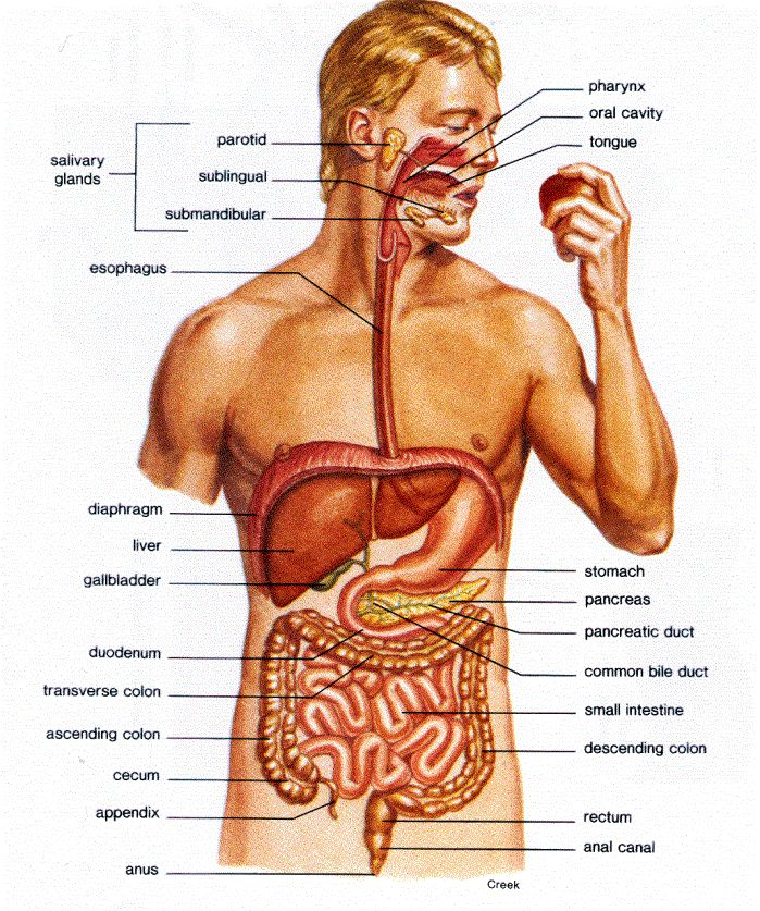 Anatomy of the large intestine in humans