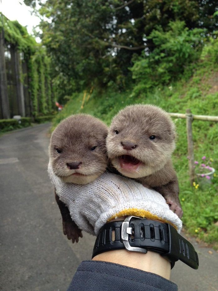 Baby otters just opening their eyes