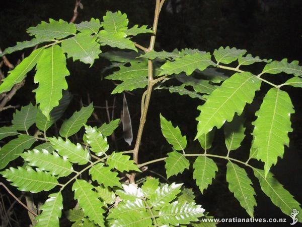 Alectryon excelsus subsp. excelsus - Titoki