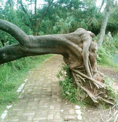 Penampakan Pohon-Pohon Unik Dari berbagai Penjuru -