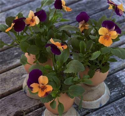 Violas in Eggshells
