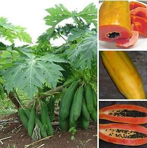 Buy Dwarf Papaya tree at Amazon