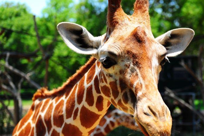 Public outcry as Copenhagen Zoo destroys young giraffe - News - The Copenhagen Post
