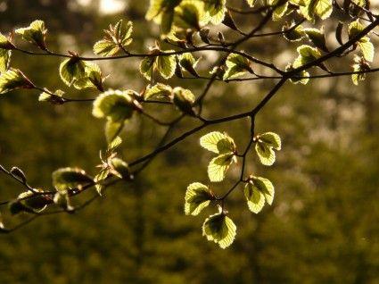 beech beech leaves fagus sylvatica