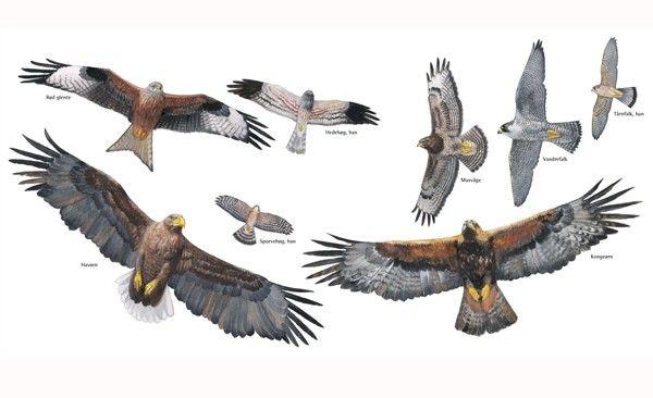 Plakat, Rovfugle af CCT - Findes i Naturbutikken
