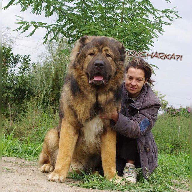 morning  #kuwait #kuw #kwt #q8pet #q8dog #q8dogs #q8pets # # #q8animals #animals #photooftheday #Dogsofinstagram # #tibetan_mastiff #dogs #group_caucasian_kuwait#dogstagram #doglover #Kangal#sivas#petzone#puppy #alabai #قوقازي #petsagram #caucasianovcharka #овчарка #Алабайsarabi#ي سرابي#الاباي#sarabi#odefix#