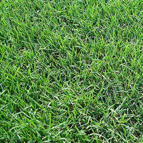 Symphony Bermuda 3 Grass Plugs2 18 pack trays * For more information, visit image link.