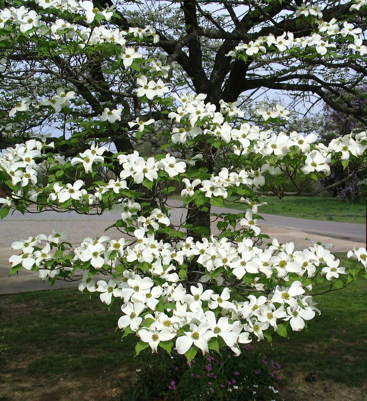 58 best images about Flowering Trees on Pinterest   Lilacs ...