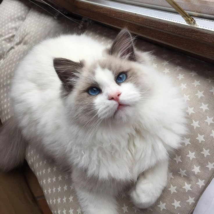 Ragdoll Cat Kitten Catsaesthetic Cat Aesthetic Ragdoll Cat Cute Animals