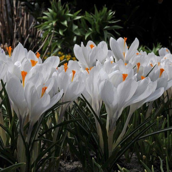 17 Best Ideas About Krokusse Pflanzen On Pinterest ... Hinweise Krokus Pflanzen Rasen Blumentopf