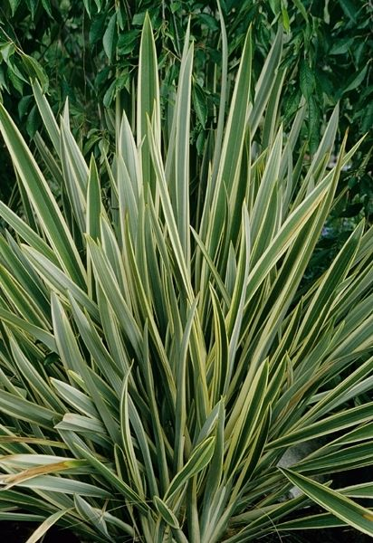 Phormium tenax Variegata, New Zealand Flax, Phormium Variegata ...