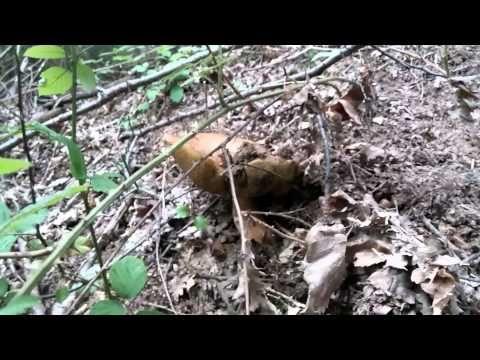 fungo porcino reale - YouTube