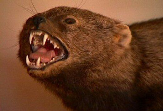 Oh, That Dreaded Fisher Cat! (A Look at Martes Pennanti) | hubpages