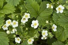 Чем подкормить клубнику во время цветения? - Магия растений