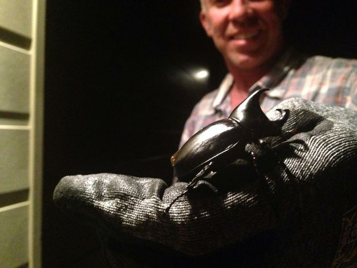 Rhinoceros Beetle - Seen 4/3/2014. It comes from the same family as the Dung Beetle and was 50mm long and a very shiny black colour.
