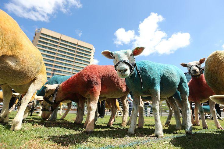 Alcune delle 40 pecore dipinte dall'artista surrealista Andrew Baines, in collaborazione con l'ONU, che hanno sfilato ad Adelaide, in Australia, per promuovere gli alimenti biologici e gli allevamenti non industriali (Morne de Klerk/Getty Images)