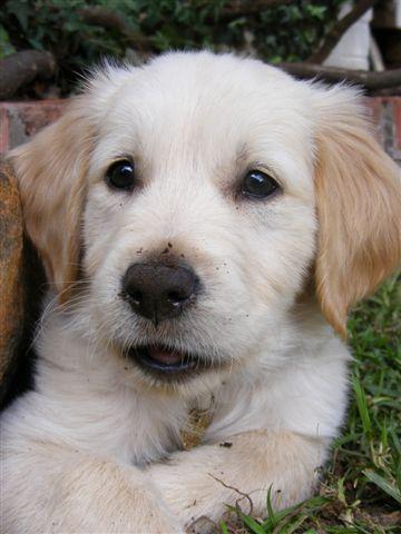 : Dogs, Golden Retrievers, Pet, Doggies Style, Cuti Stuff, Adorable Puppies, Puppies Golden Retriever, Adorable Animal, Golden Retriever Puppies