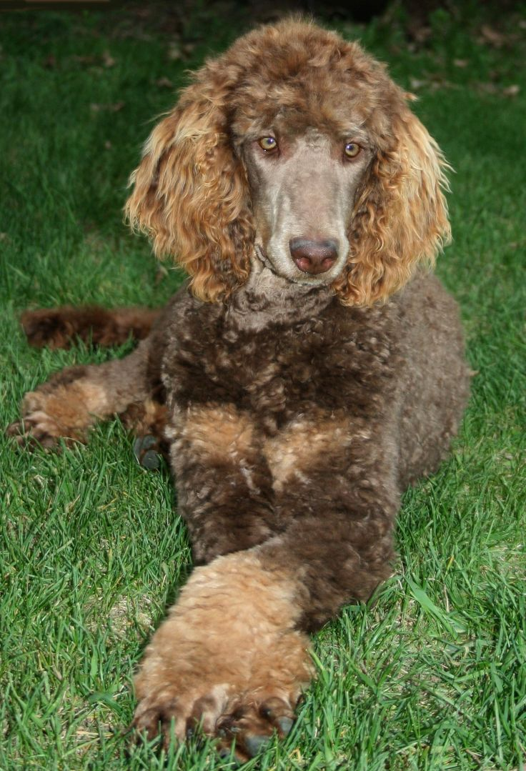 Our dog Daisy, a cafe au lait & silver beige Canadian Kennel Club registered Standard Poodle