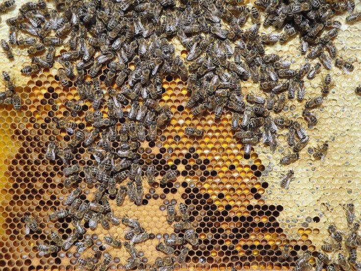 Wabe mit Honig, Brut und Pollen