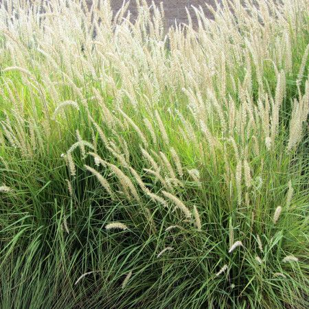 127 best images about grasses on pinterest perennial for Modern ornamental grasses