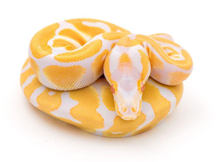 Albino WHS line Scaleless Head - Morph List - World of ...