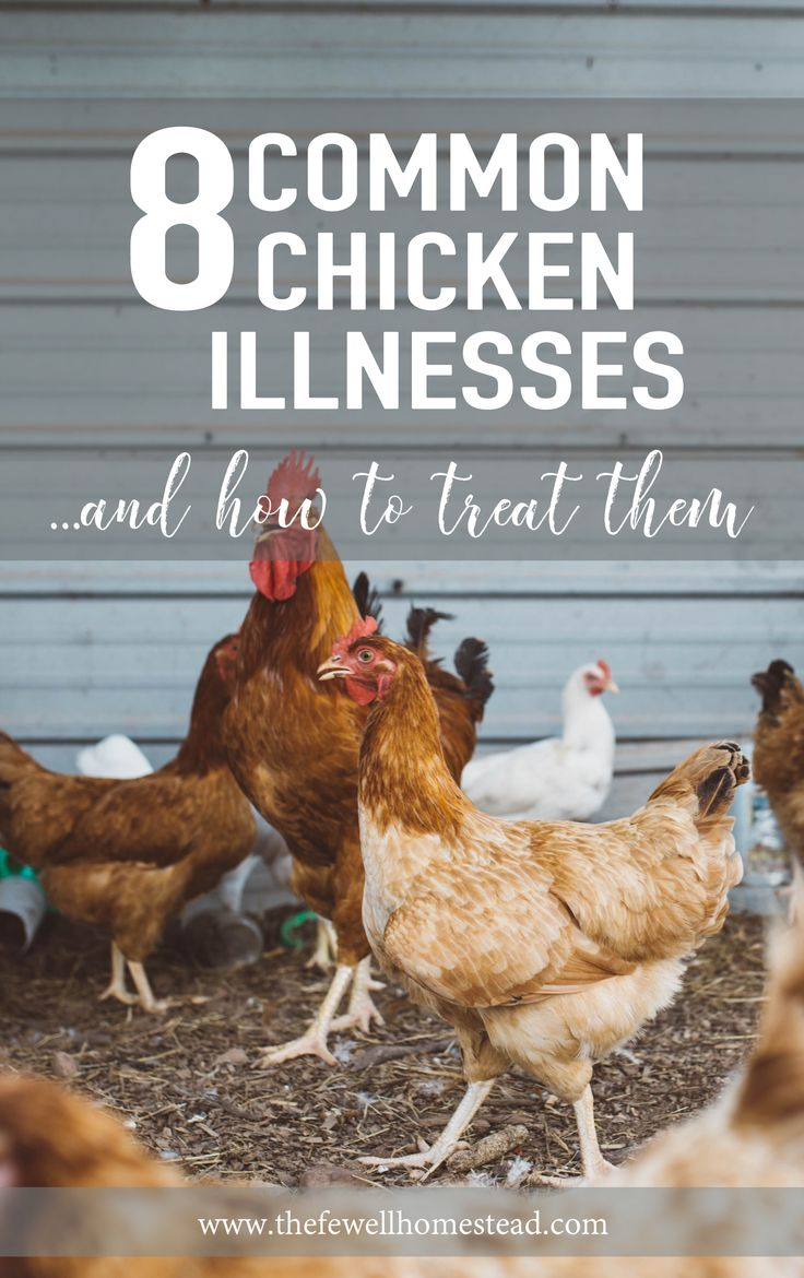 "8 Common Chicken Illnesses & How To Treat Them -- It happens to everyone at some point or another. You go and start your flock with a few chickens—everything in life is happy and grand. And then one day, you walk outside to a dead bird, a sick bird, or a ""what the heck is wrong with it"" bird. That's when the death emotion..."
