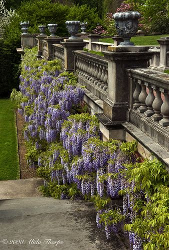 Wisteria, Old Westbury Gardens (open to the public, formerly the estate of John Shaffer Phipps, heir to the U.S. Steel fortune),  Nassau County, New York
