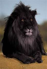 Cute Exotic Animals   Black lion....wow   Exotic But Cute Animals!