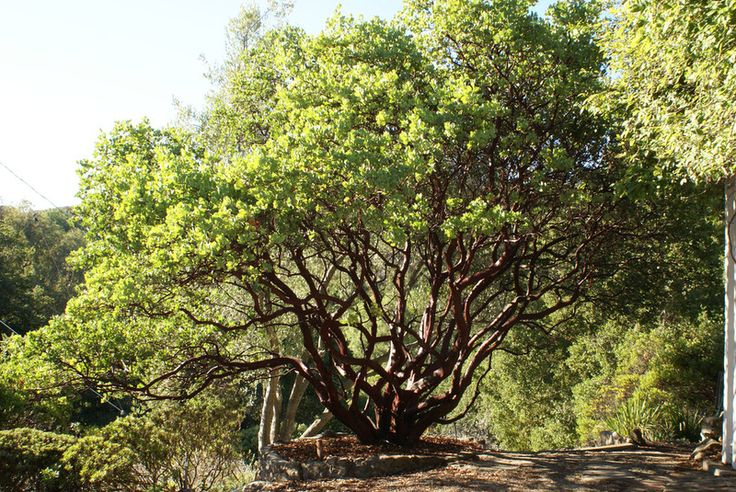 Great Design Plant: Parry Manzanita Stands Out in Low-Water Gardens