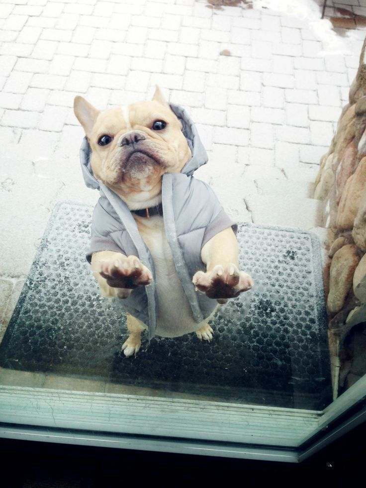 16 Reasons French Bulldogs Are The Worst Indoor Dog Breeds Of All Time