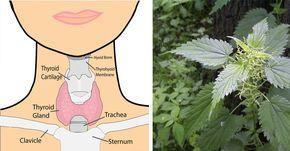 7 gyógynövény minden pajzsmirigy problémára!