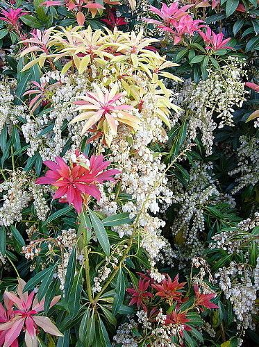 """Mountain Fire Lily of the Valley Shrub - Japanese Pieris - 4"""" Pot"""