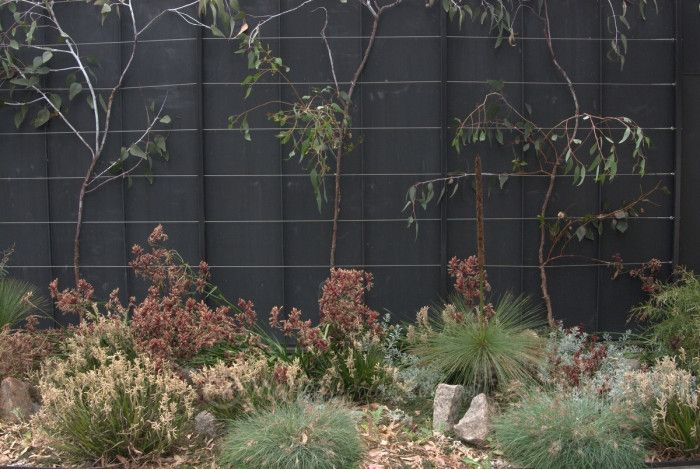 Eucalyptus 'Silver Princess' at Heide, Melbourne -  espaliered against a black wall:  a great way to deal with it, as it is naturally weeping but also very weak and needs heavy staking for the first few years.  In front is a combination of foliage colours provided by dwarf Kangaroo paws, Eremophila glabra prostrate, Xanthorrhoea and Themeda 'Quokka'.