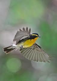 Ⅴ 飛翔する キビタキ 。 | Paradise of the Wild bird…野鳥の楽園 ...